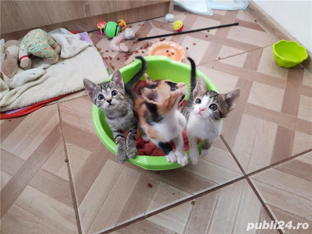 Donez 3 pui de pisica