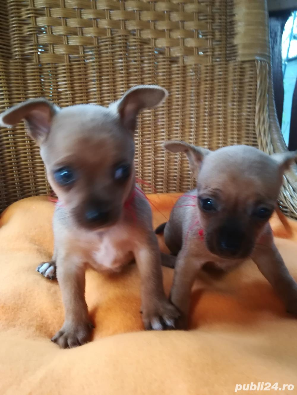 Catelusi Pinscher Pitic Toy