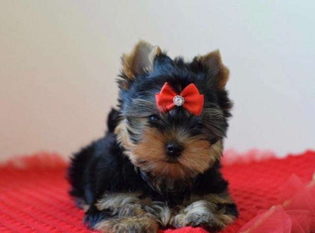 Frumosul Tiny Yorkshire terrier Păpuși disponibil