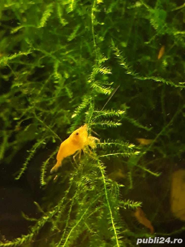 Creveti acvariu yellow