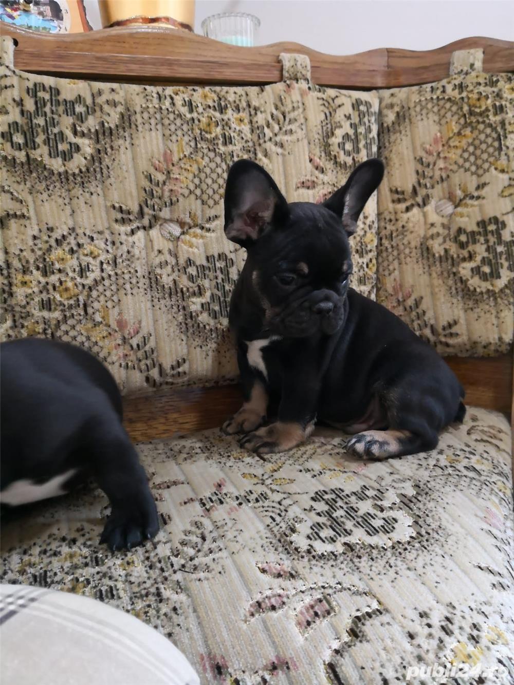 mini bulldog francez