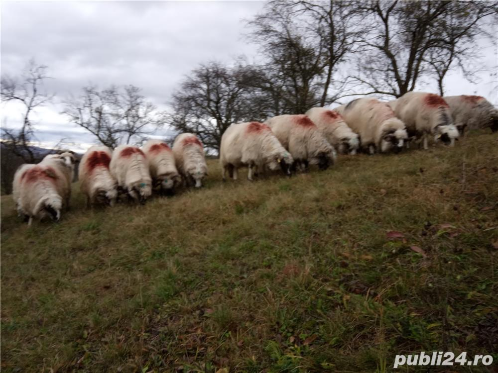 Vând 25 oi și 2 berbeci miori.