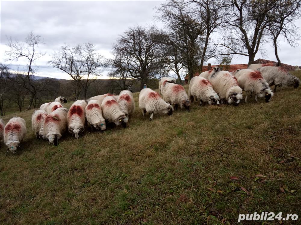 Vând 25 oi țurcane.
