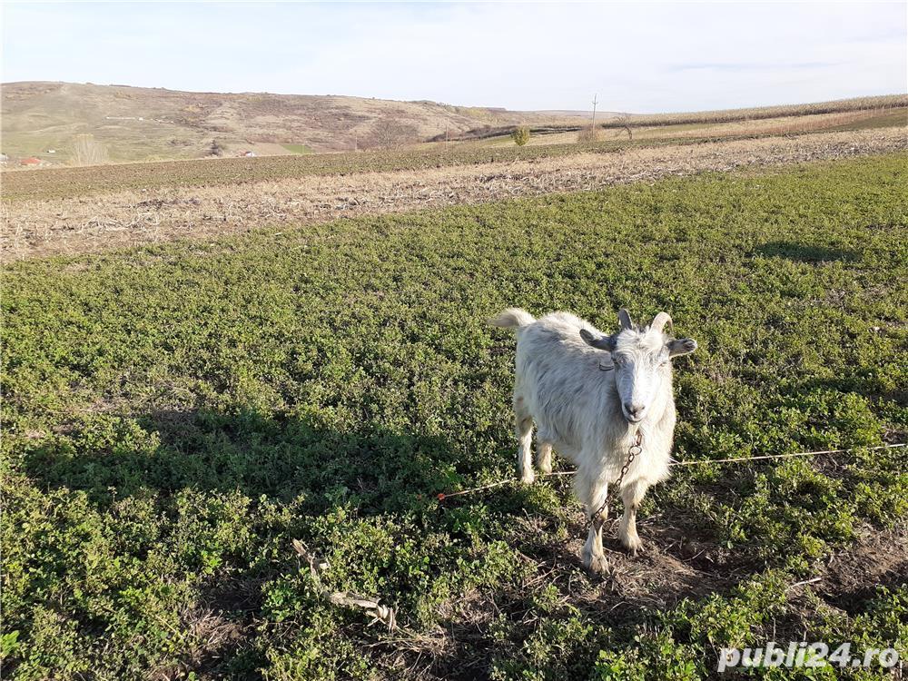 Vand capră