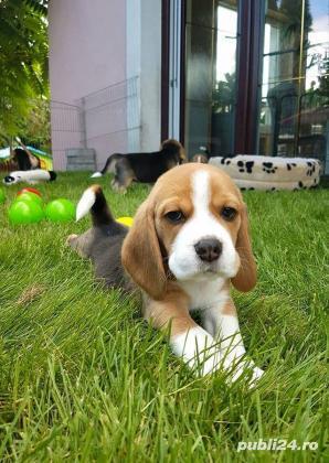 Beagle de calitate, rasa pura, 2 luni, masculi si femele