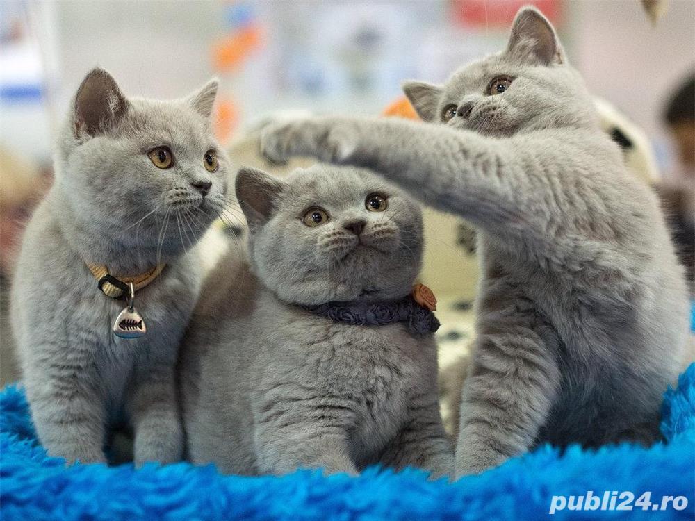 British Shorthair Blue de calitate, masivi, par scurt