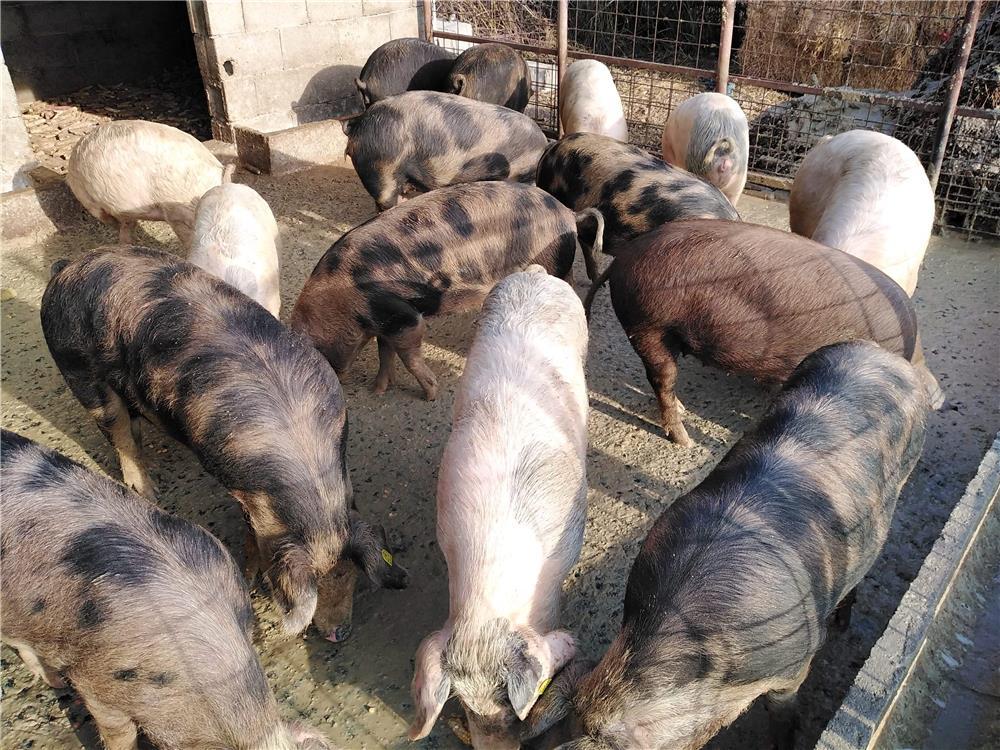 Vând porci