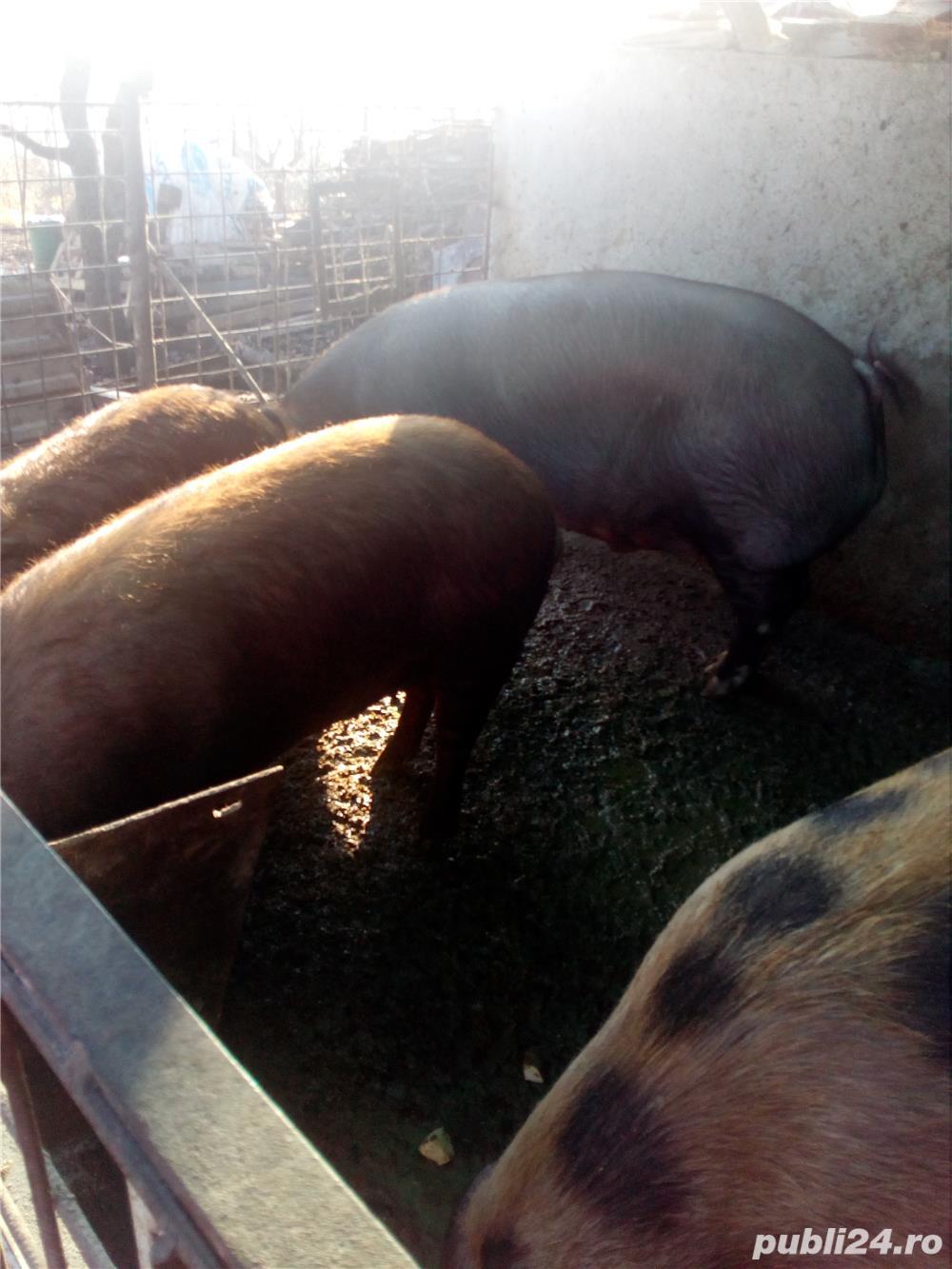 Vand porcii pentru sacrificare.