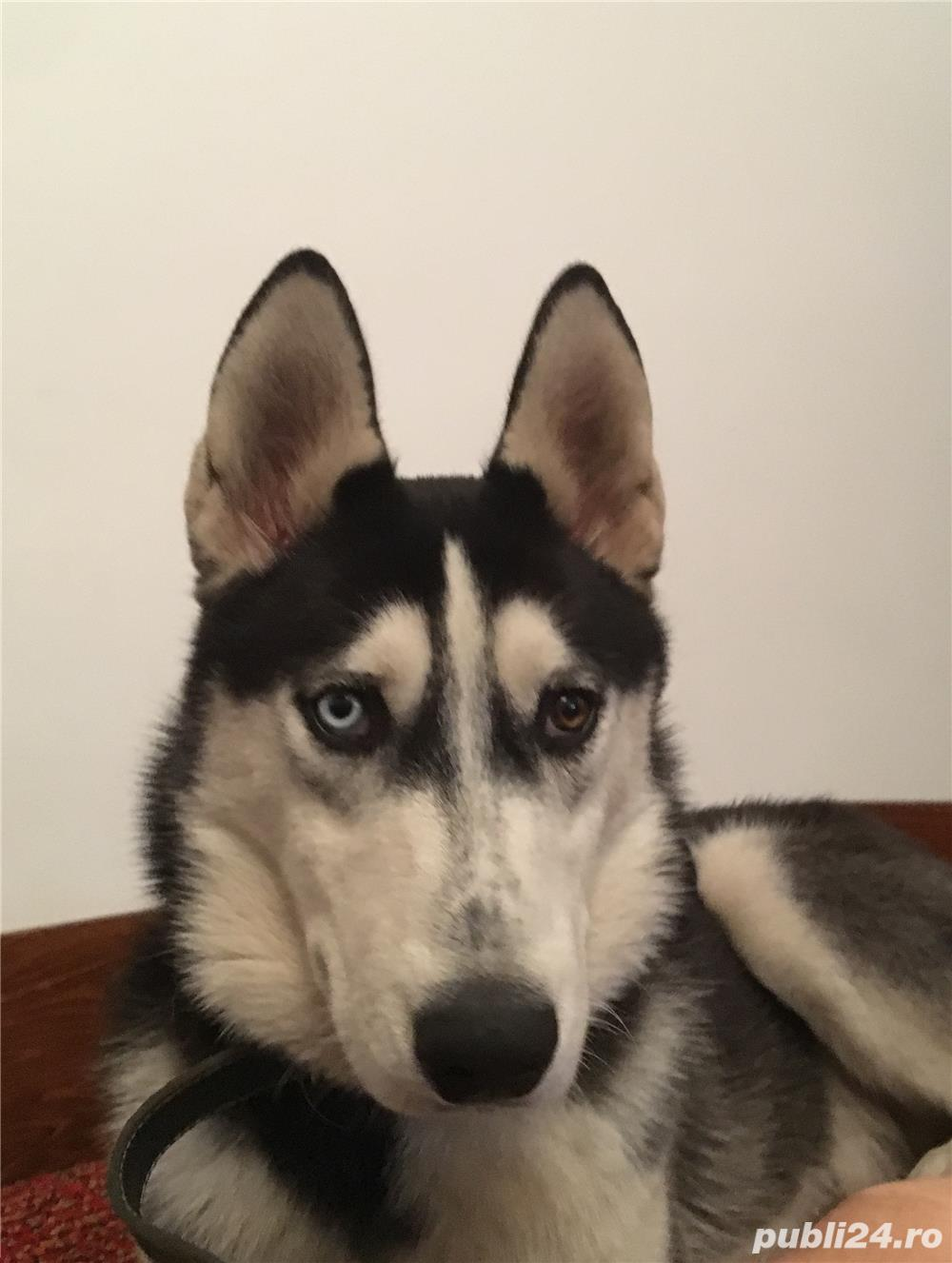 ofer pentu monta (împerechere) mascul Husky