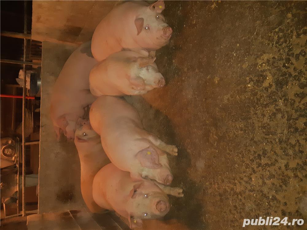 Vand porci de calitate