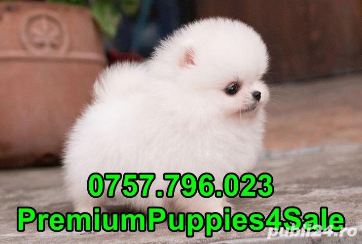 Pomeranian calitate premium- livrare la bucuresti-