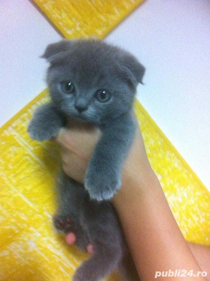Scottish Fold varietatea Blue, par scurt, urechi pliate