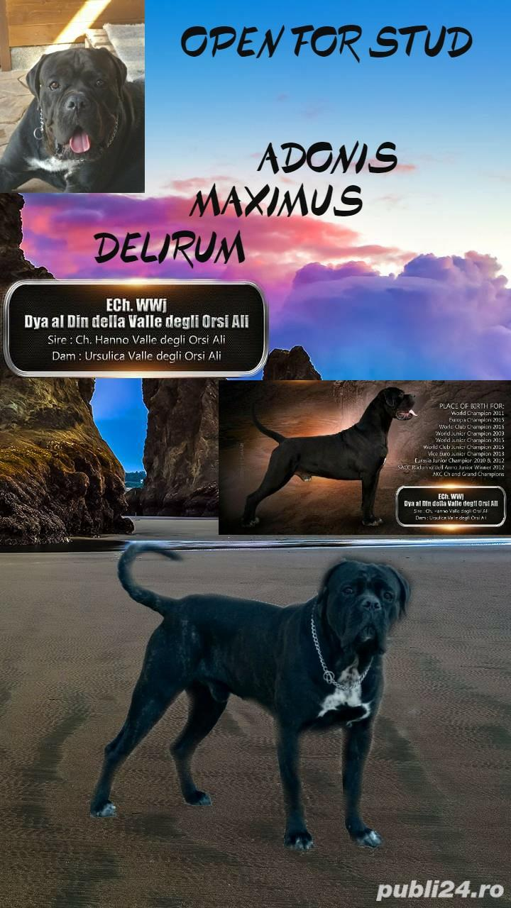 Open for stud monta cane corso Adonis Maximus Delirum