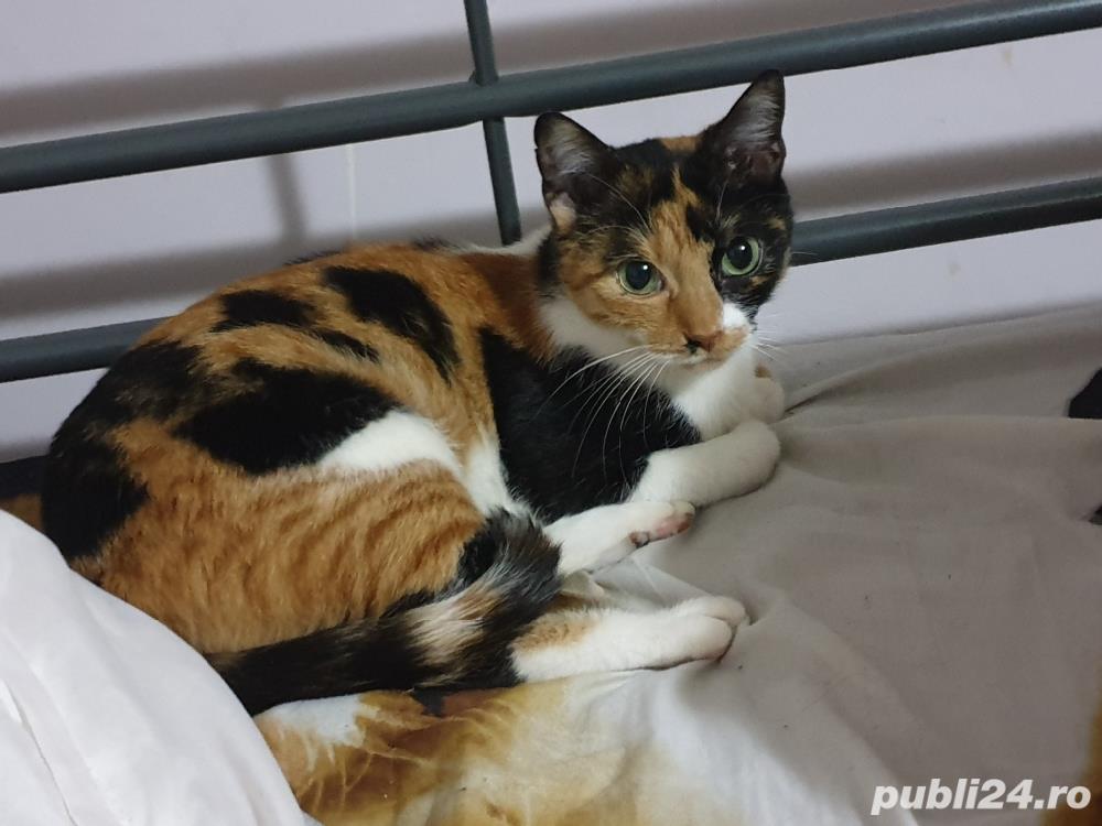 Pisica pentru adopție