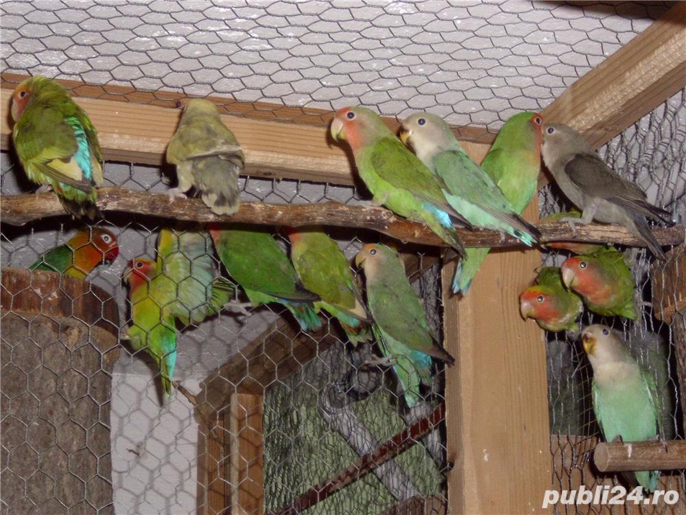 vand papagalii
