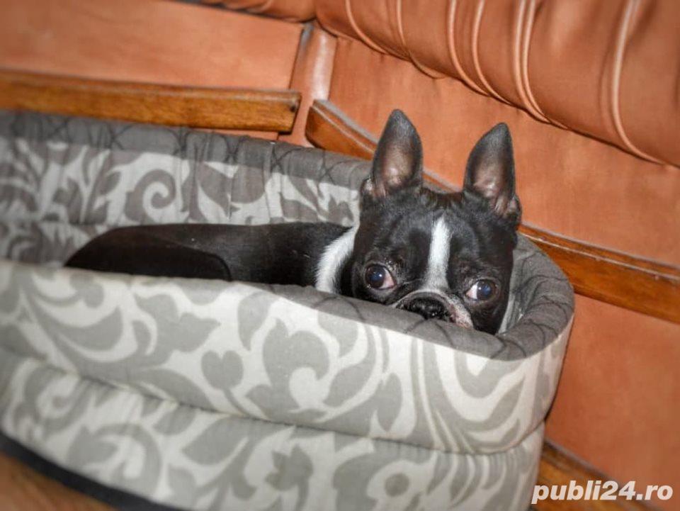 Boston terrier rasa pura