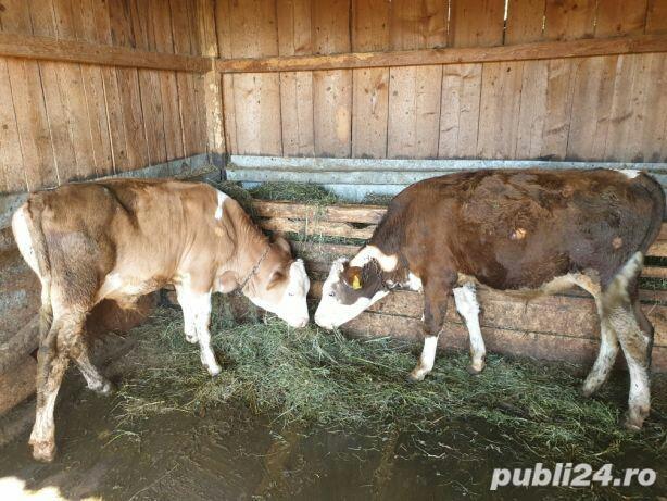 Taurasi pentru Carne de 150 si 200 de kilograme,
