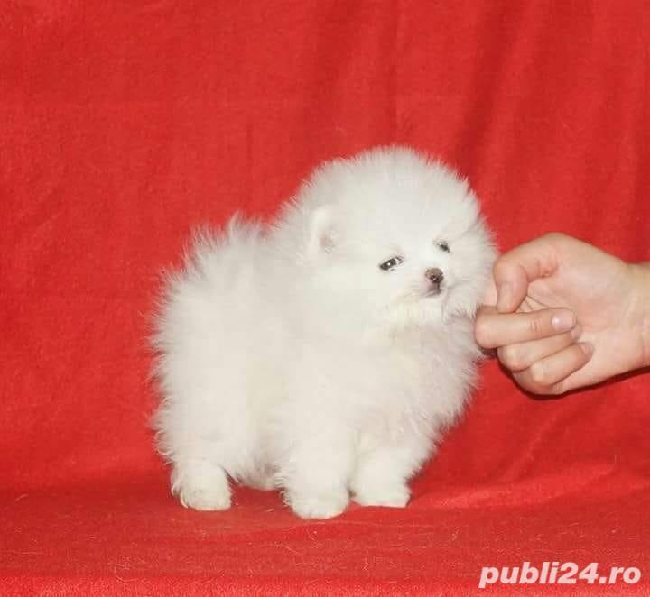 Pomeranian Alb Toy. Deosebit de frumosi. Rasa 100 % pura