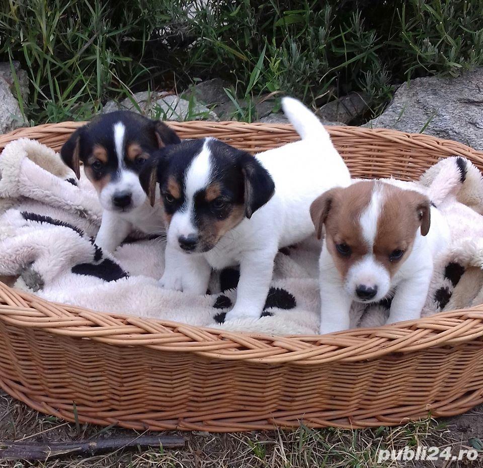 Vand jack russell/russel terrier!!