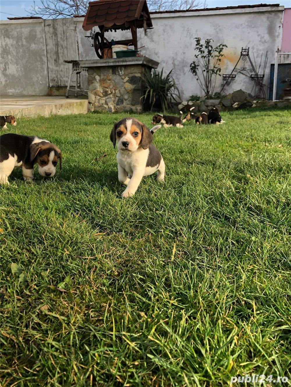 Puiuți Beagle