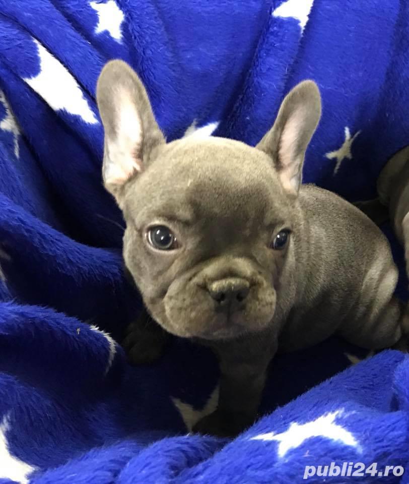 Pui de bulldog-buldog francez pe albastru,gri,blue