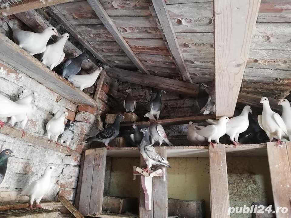 porumbei postasi albi