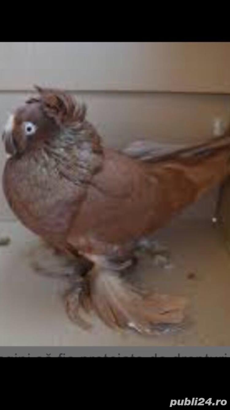 Porumbei jucatori de vânzare
