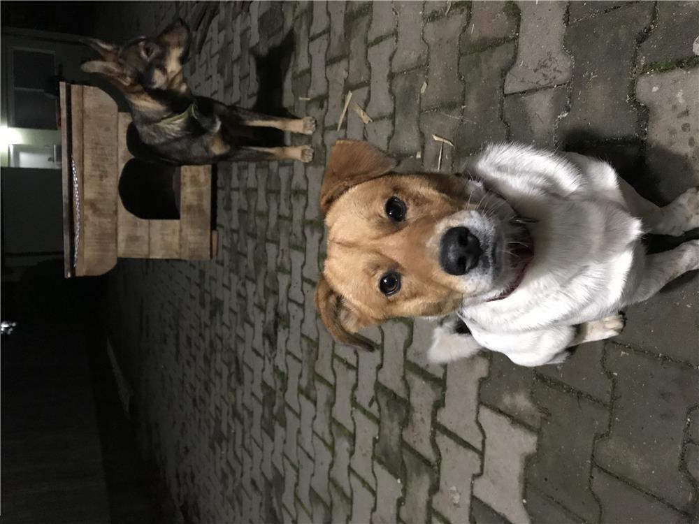 Catel Jack Russel Terrier pentru monta