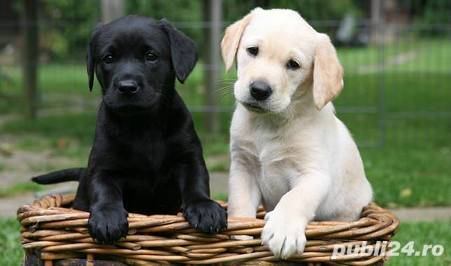 Labrador Retriever de vanzare - masculi si femele la pret de crescator