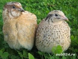 Vindem oua de prepelita, prepelite si custi complete pentru prepelite