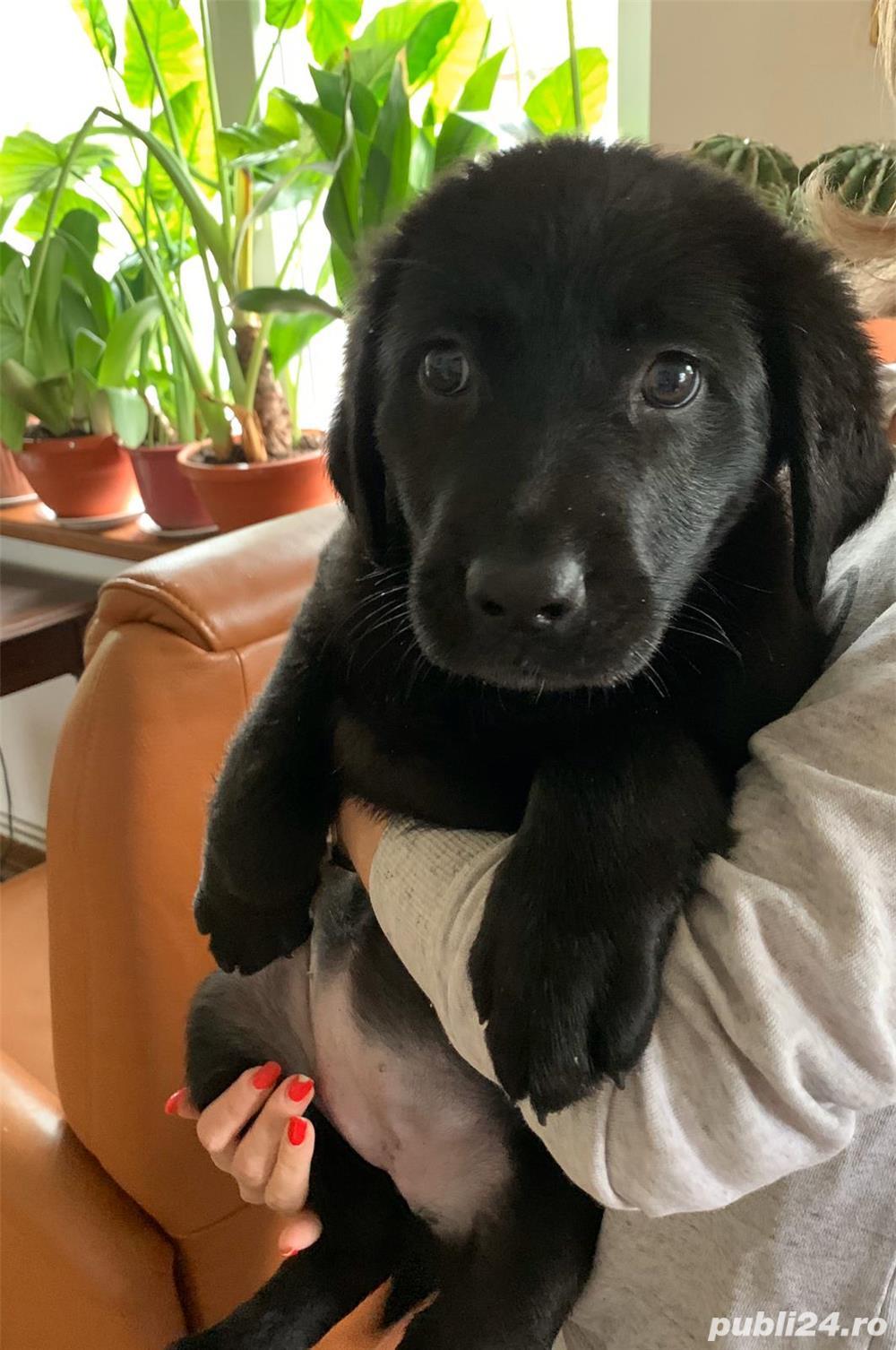 Pui Labrador de vanzare