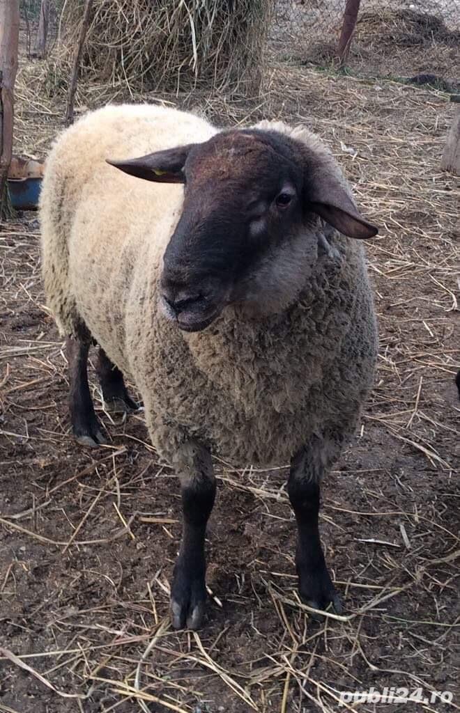 berbec rasa carne Suffolk