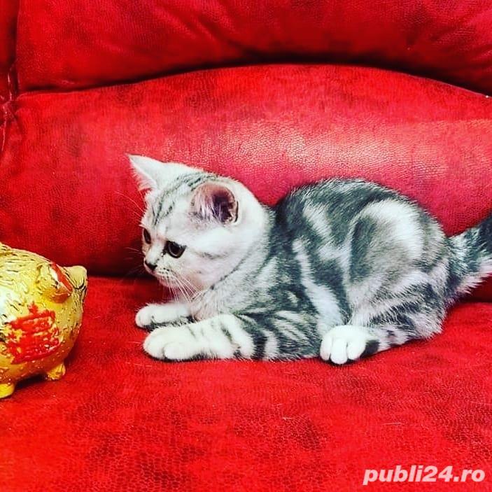 Pisicute British shorthair silver tabby si blue