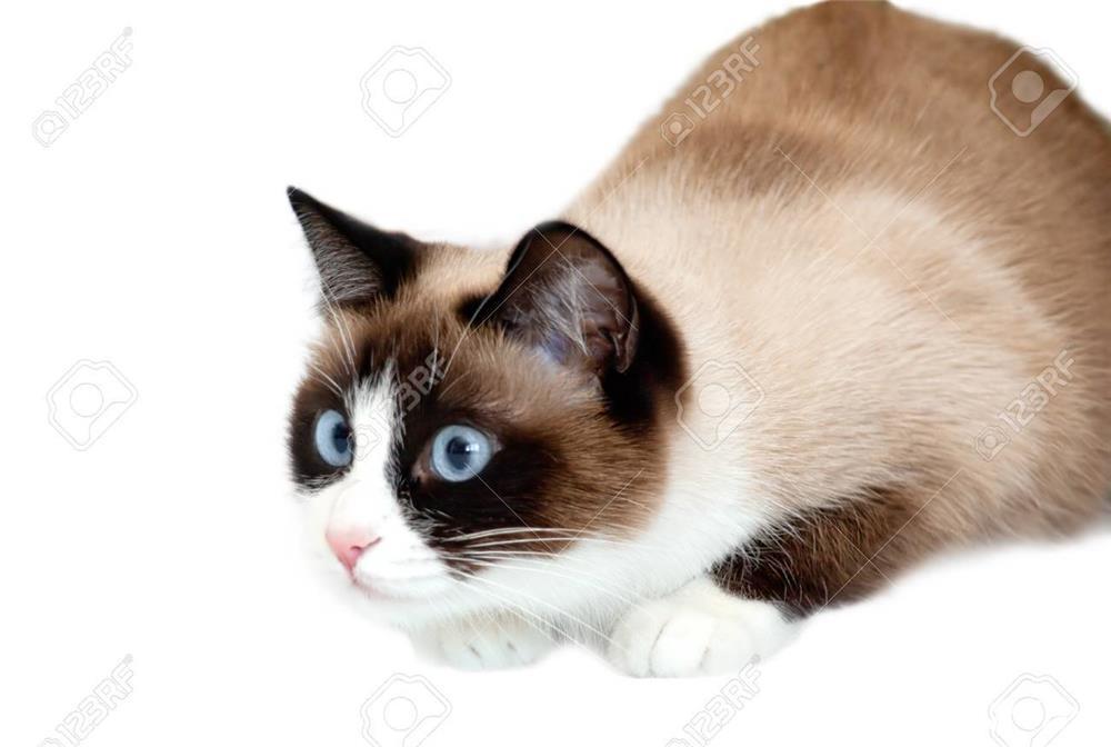 pisicuta minunata snowshoe