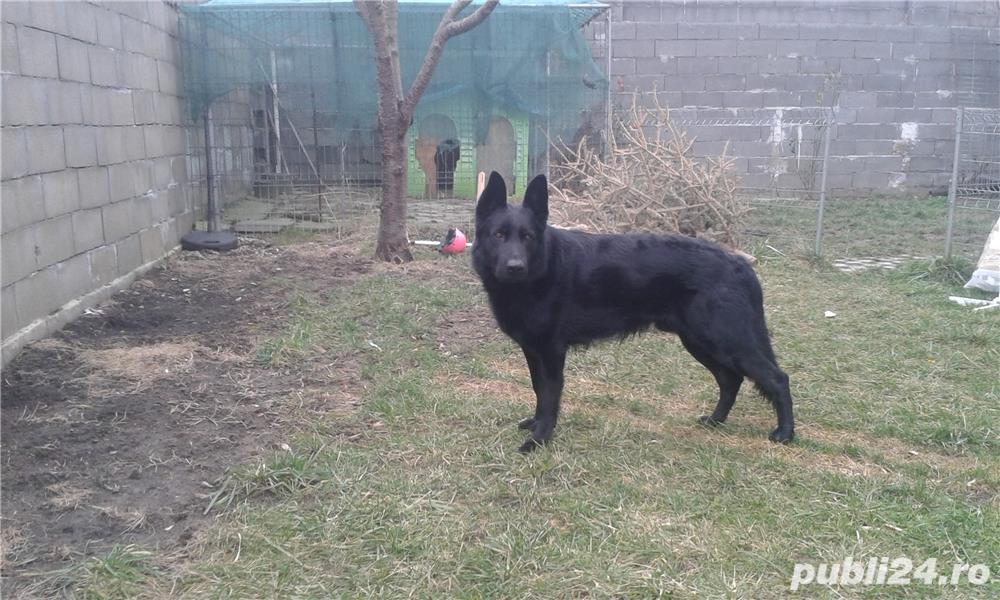 Mascul ciobanesc german negru cauta partenera.