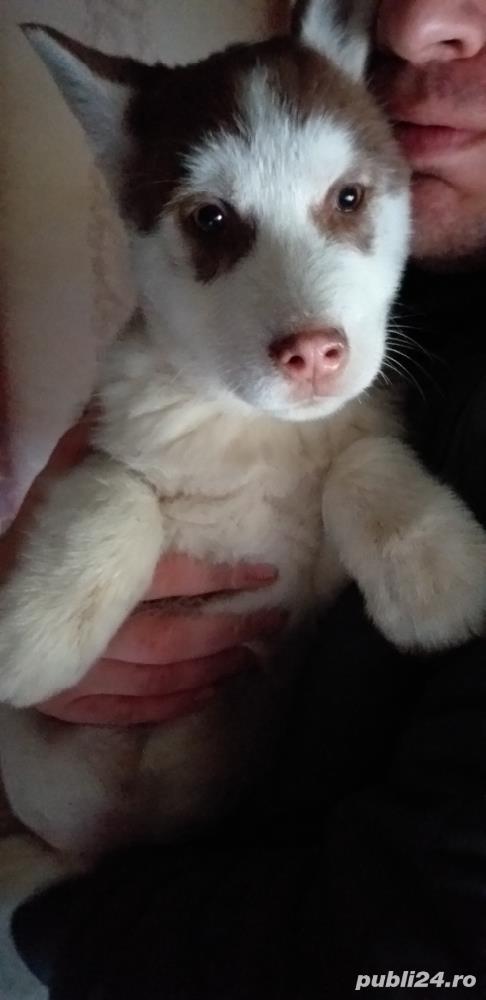 Vând Husky Siberian