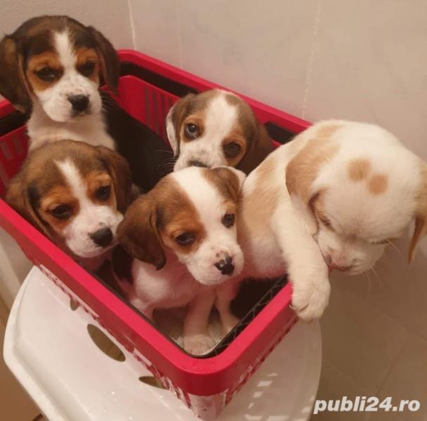 Pui de beagle tricolor si bicolor
