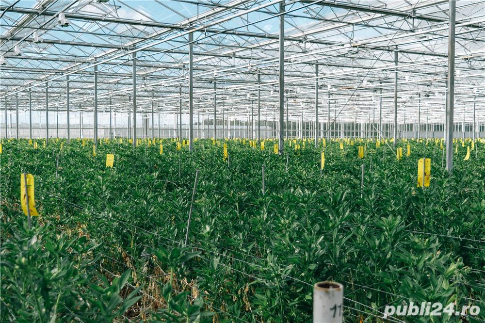 Sortat de căpșuni în OLANDA, 10 luni
