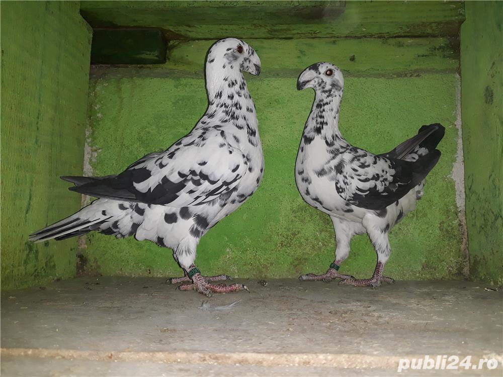 De vânzare porumbei