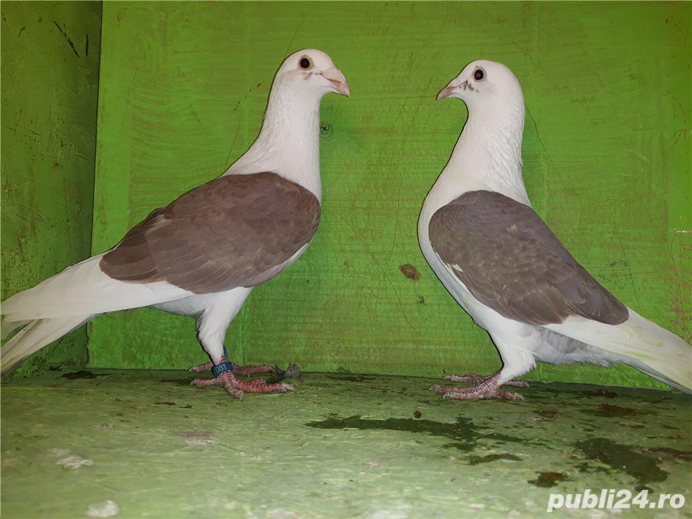 Porumbei voiajori căpăciti (listi )