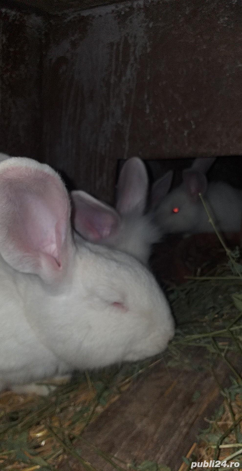 Vand iepuri  albi cap de leu mari  cu blana stralucitoare150 lei frumoși pentru copiiii