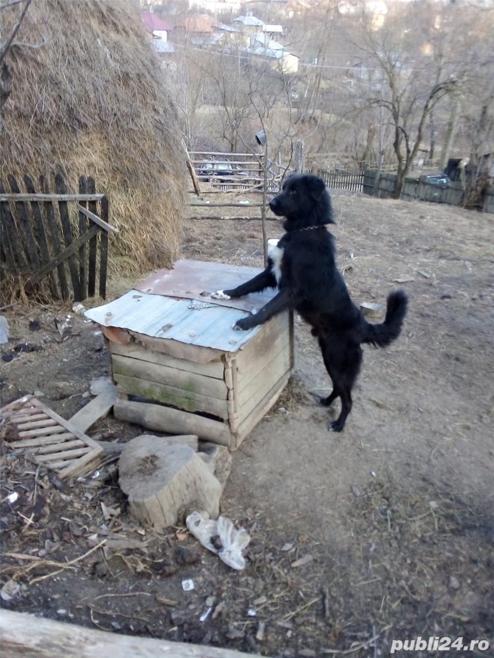 Vand câine ciobănesc
