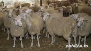 vanzare oi si capre