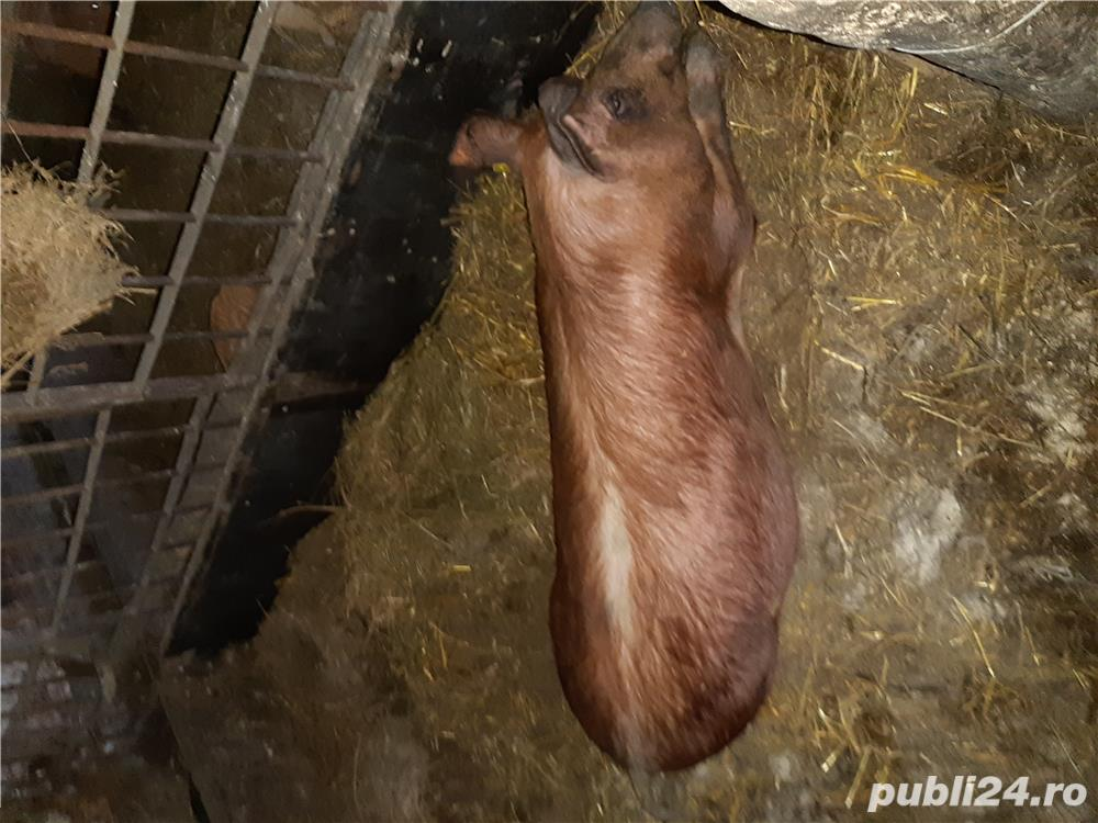 Porci mangalita si duroc