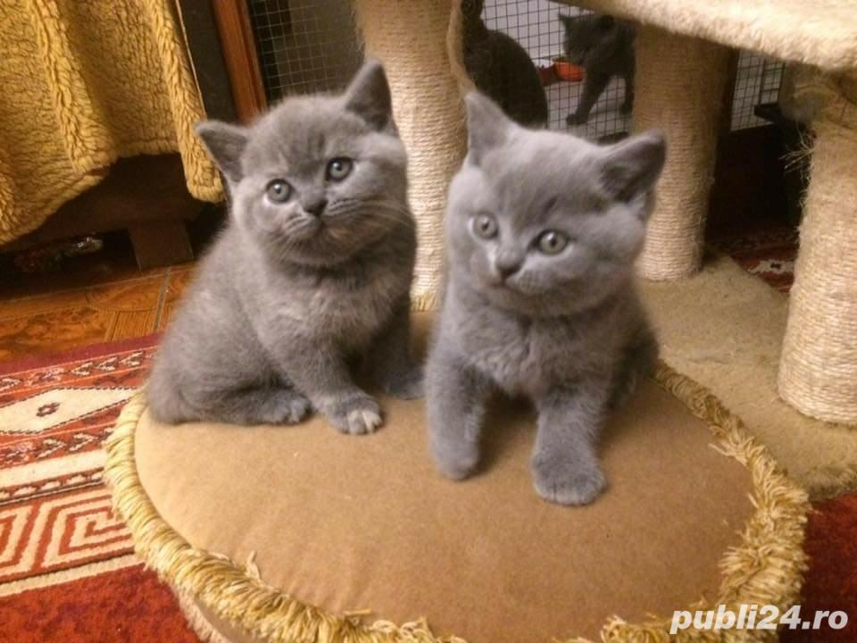 Pui british shorthair