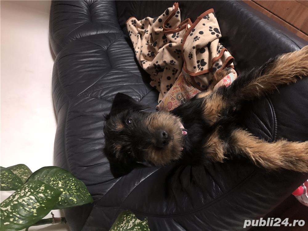 Cățel jagd terrier