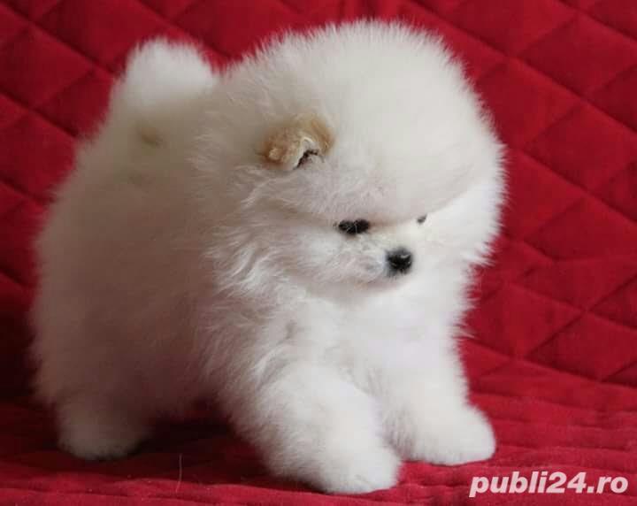 Pomeranian Boo Alb, mini Toy
