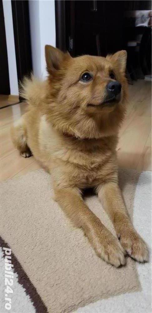 Monta, Pomeranian Boo, Talie Mare