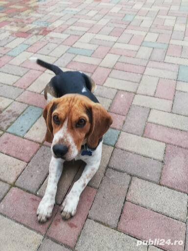 Beagle pentru montă