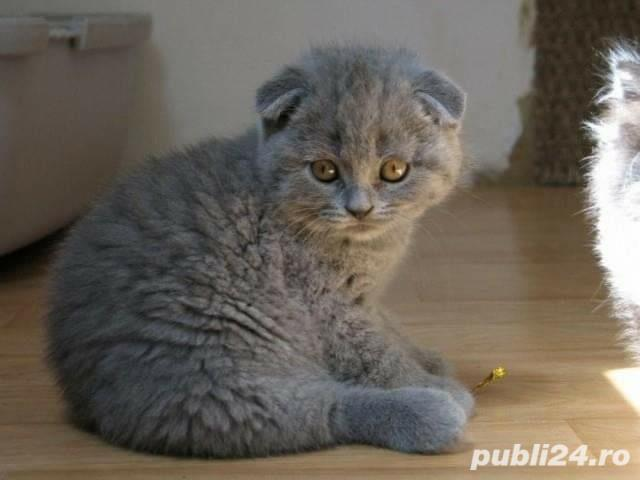 Fetita scottish fold!